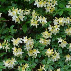 Rhododendron Daviessii 11 mei 2017