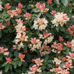 Rhododendron Golden Torch 11 mei 2017