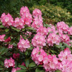 Rhododendron Hachmanns Polaris 11 mei 2017