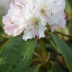 Rhododendron Christmas Cheer 31 maart