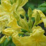Rhododendron Anneke 11 mei 2017