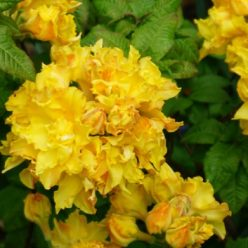 Rhododendron Cheerfull Giant 11 mei 2017