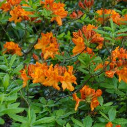 rhododendron Hangers Flame 11 mei 2017